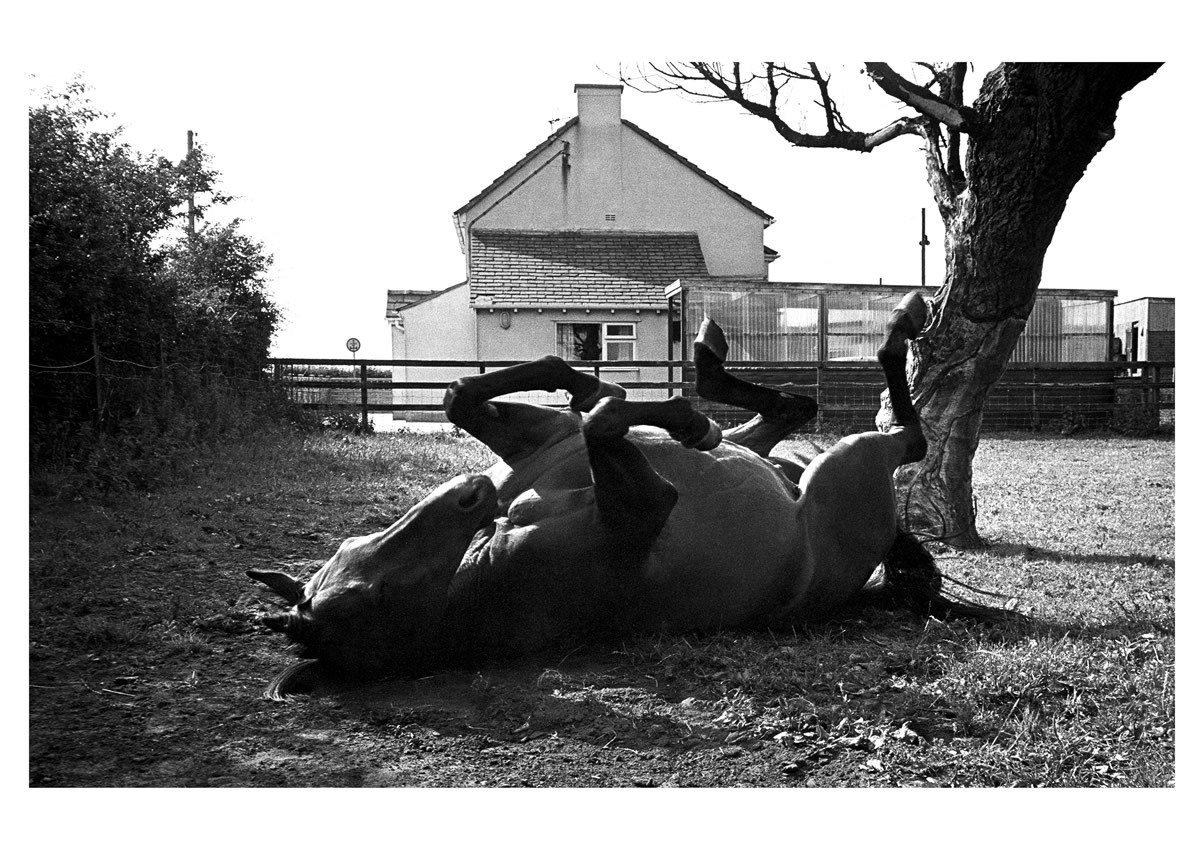 Red Rum having a roll on the grass