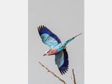 44. Lilac-breasted roller