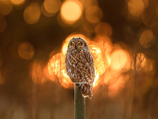 23. Short-eared owl at sunset