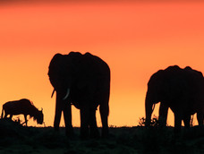 2. Elephants and Wildbeest at sunset