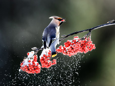 31. Waxwings in Finland