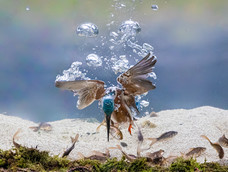 38. Kingfisher diving
