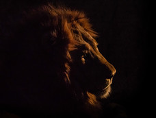 3. Lion at the last rays of daylight