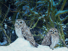 48. Short-eared owls in the snow