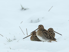 49. Snipe in the snow