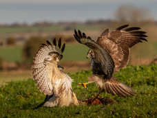 51. Sparring Buzzards on the Downs