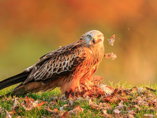 52. Red kite with prey