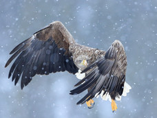 58. White-tailed eagle in the snow