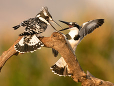 5. Pied Kingfishers fighting