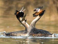 62. Great crested grebes displaying