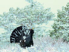 67. Capercaillie displaying in Norway