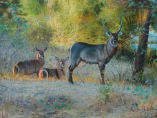 Dawn Silence, Waterbuck